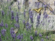 Butterflies on the lavender